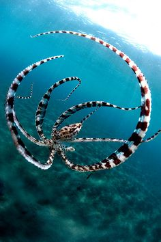 Mimic Octopus going into defensive mode mimicking a lion fish