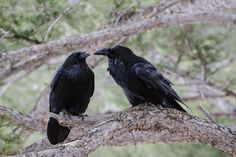 """Instead of branching into new species, raven groups experienced something called """"speciation reversal."""""""