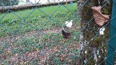 Kippen In zijtuin