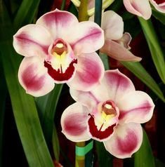 Orchid: Cymbidium Kimberly Splash 'Tee Pee'