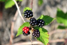 The leaves of #blackberry plants can be used in invocations to the Brigit, the goddess of healing, poetry, sacred wells and smithcraft.  When used to make a wreath with rowan and ivy, it will also ward off evil spirits.  #Brambles are also used to attract faerie spirits.