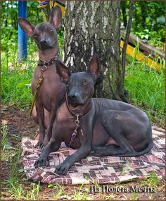 Did you just hear that? Is someone in the fridge? Pretty Animals, Cute Animals, Mexican Hairless Dog, Rare Dogs, Reptiles, Dog Poses, Pet Breeds, Animals And Pets, Best Dogs
