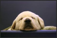 Google Image Result for http://canined.com/dogs/wp-content/uploads/2009/02/golden-labrador-retriever-puppy-dog-sleeping-2.jpg