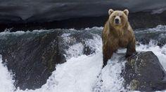 Wallpaper bear, water, current, stones