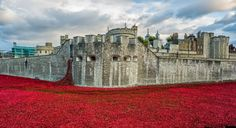 tower of london poppies | Tower of London poppies ceramic poppies commemorating 100 years since WWI