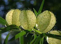 Gomphocarpus physocarpus 'Hairy Balls'   um, yeah. this is a South African milkweed, so butterflies love it, including monarchs. 4'. great flowers. more info: plantzafrica.com/plantefg/gomphophysocarp.htm