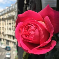 First rose of 2016  by kkparis