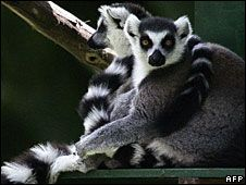 over 100 lemur species are going extinct ring tailed lemur