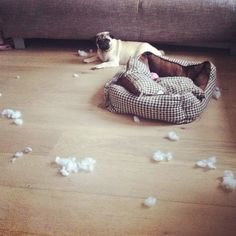 Funny pug pictures are always great to look at during the day. Here's a naughty pug who may be sitting nicely, but it looks like they have damaged and ripped Funny Pug Pictures, Pictures Online, Pugs, Heart, Bed, Stream Bed, Beds, Pug Dogs, Hearts