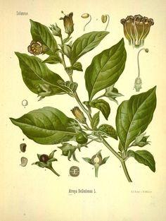 Atropa Belladonna Herb