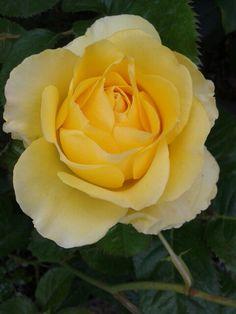 Rose ' Walking on Sunshine' Always a prolific bloomer. Photo by Jan R.Fuller