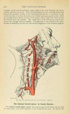 The internal carotid artery. Gray's Anatomy, 1913. Henry Gray (https://pinterest.com/pin/287386019942047808/ https://pinterest.com/pin/287386019948311134).