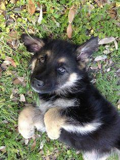 german shepherd puppy #germanshepherd