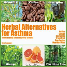 Several herbs are successful in treating asthma & may work more effectively than standard treatment. EUCALYPTUS-excellent asthma remedy. Opens air passageways & can be inhaled for instant relief. Is anti-inflammatory & destroys mucus. COFFEE-caffeine works to open the airways & can improve & open the lungs for several hours. GRAPEFRUIT & OTHER CITRUS FRUITS reduce coughing & blockages in the lungs & improve lung function. BOSWELLIA, GINKGO, & PINE BARK also benefit.