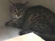 ALICJA - A1083686 - - Manhattan   ***TO BE DESTROYED 08/05/16*** PERFECTLY HEALTHY ALICJA WAS TRAPPED IN A FOOD WAREHOUSE AND BROUGHT TO THE ACC – NOW THIS 12 WEEK OLD WILL DIE FOR NO REASON, REALLY!! Someone thought they were doing ALICJA a favor by bringing this kitten to the ACC. Kittens get adopted easily, they probably thought so they trapped this baby and dropped her off at the shelter. Sadly, ALICJA is not happy and is frightened because she is not used to peop