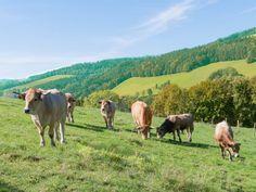 Ein Schar Ochsen in der Frankenau Cow, Animals, Cattle, Animais, Animales, Animaux, Animal, Stuffing