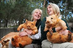 Senior keeper Karen Davis holding rare golden wombat 'Icy' and Education Officer Claire Peterson holding 'Polar'