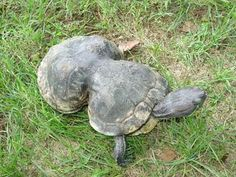 Peanut, an extraordinary turtle was found in Missouri in 1993. Peanut could easily be a prey to many animals or she could have drowned in the water but as luck would have it she was rescued and taken to a zoo in St. Louis where the six-pack ring on her body was removed. Missouri Department of Conservation is now responsible for her care now.