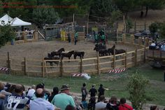 Il rodeo dei cavallini della Giara: pochi minuti all'inizio