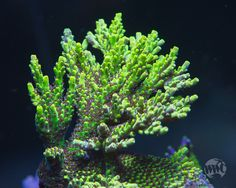 Mother colony shot of our WWC Wildfire Acro Coral Frags, Sps Coral, Nano Cube, Aquarium Setup, 9th Anniversary, Mind Tricks, Saltwater Aquarium, Fish Tanks, Acro