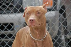 GONE --- TO BE DESTROYED 4/22/14  Brooklyn Center -P   My name is ROUJ. My Animal ID # is A0996541.  I am a male brown and white pit bull mix. The shelter thinks I am about 1 YEAR 7 MONTHS old.   I came in the shelter as a OWNER SUR on 04/13/2014 from NY 11413, owner surrender reason stated was MOVE2PRIVA.   https://www.facebook.com/photo.php?fbid=790518397627708&set=a.790518377627710.1073743109.152876678058553&type=3&theater