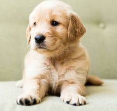 Baby Animals Pictures, Cute Animal Pictures, Cute Baby Animals, Animals And Pets, Golden Retriever Mix, Golden Retrievers, Retriever Dog, Puppy Care, Pet Puppy