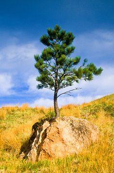 Ponderosa pine at Wind Cave National Park, South Dakota; photo by Jerry Mercier