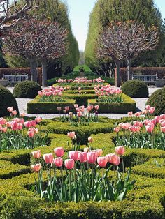 Gorgeous Garden with Boxwood and Pink Tulips.