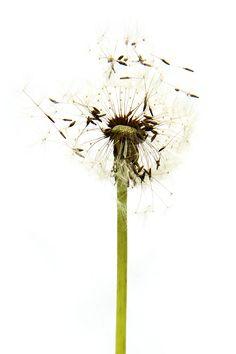 dandelion  (mary jo hoffman)