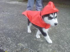 Husky puppy in red raincoat! Dog Pictures, Cute Pictures, Little Husky, Red Raincoat, Super Cute Animals, Cutest Animals, Zoo Animals, Snow Dogs, Siberian Huskies