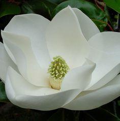Magnolia flower-Louisiana's state flower