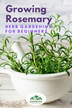 Rosemary is a delicious herb and very versatile in the kitchen. Don't miss out on this easy to grow herb! You can grow rosemary in containers or in the herb garden. Learn how here! Grow Rosemary, Rosemary Plant, Backyard Vegetable Gardens, Herb Garden, Planting Vegetables, Growing Vegetables, Homestead Gardens, Organic Gardening Tips, Herbs Indoors