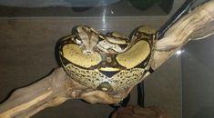 Chov Hroznýše Královského | Člověk v síti.cz Boa Constrictor, Snake, Animals, Animales, Animaux, A Snake, Animal, Animais, Snakes