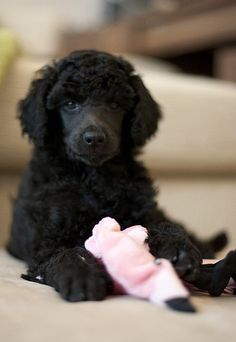 Do you know someone with a Portuguese water dog?
