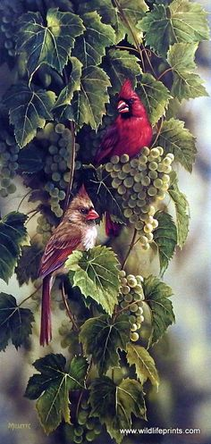 The female cardinal blends right in with the green grapes on this vine, whereas the male cardinal sticks out like a sore thumb. This print is signed and numbered and is available unframed in an image                                                                                                                                                       More