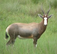 Blesbok : can maintain a speed of 70 km/h (43 mph) when chased, but are not good jumpers.