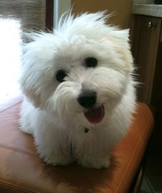Pictures of Coton de Tulear Dog Breed. (Not my dog). Groomed in a puppy cut! Easier to maintain, but still so cute! Animals And Pets, Baby Animals, Cute Animals, Cute Dogs Breeds, Dog Breeds, Cute Puppies, Dogs And Puppies, Doggies, Coton De Tulear Puppy