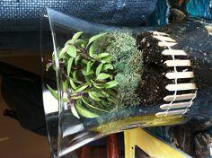 A terrarium with a slight fantasy theme. The plant inside is Thai basal.