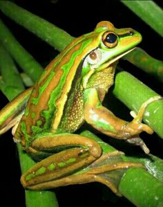 Australian Green and Gold Bell frog