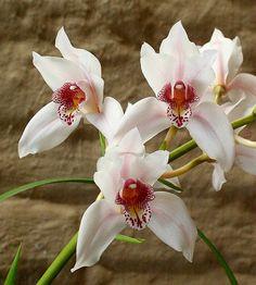 cultivando Orquídeas e idéias: ESPÉCIES DO MUNDO