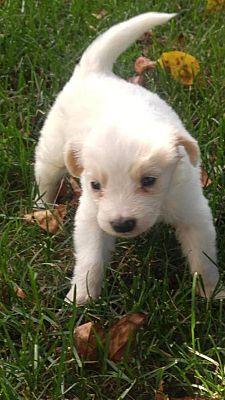New York Ny Retriever Unknown Type Meet Ragu A Dog For