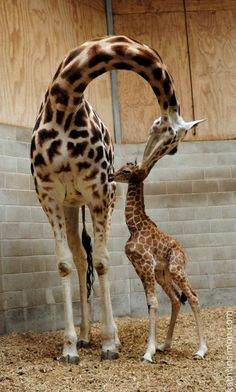 giraffes parenting