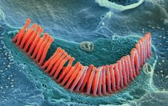 Inner ear hair cells. Colored scanning electron micrograph (SEM) of sensory hair cells from the organ of corti, in the cochlea of the inner ear.