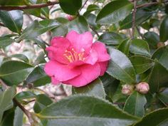 Sazannka (japanese name) /  Camellia sasanqua (scientific name)