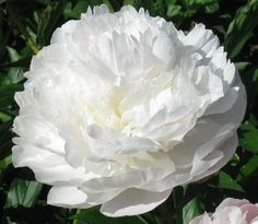 Peony. Florence Nichols   Originator: (Nichols 1938)   Cultivar group: Lactiflora  Bloom period: Midseason  Flower form: Full Double    Details:  Large, blush white, very fragrant. Excellent performer, the medium height bush is best with support when flowered in the landscape. The upright stems will bend with wet flowers. It is otherwise difficult to fault, a most satisfactory representative of the type.