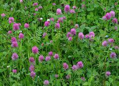 Rødkløver (Trifolium pratense) Plants, Plant, Planets
