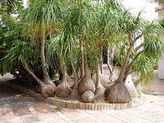 elephant_foot_bonsai_palm_tree_004.jpg (1024×768)