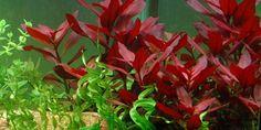 """Ludwigia repens 'Rubin' - Tropica Aquarium Plants with Echinodorus """"Vesuvius""""."""