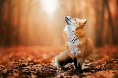 Freya the red fox