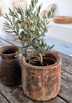 Olive tree in wood pot Wabi Sabi, Indoor Garden, Indoor Plants, Olivier En Pot, Pot Jardin, Olive Tree, Wood Bowls, Garden Inspiration, Houseplants